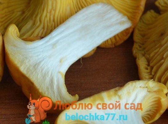 Ножка лисички в разрезе