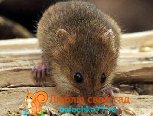 Борьба с мышами на дачном участке