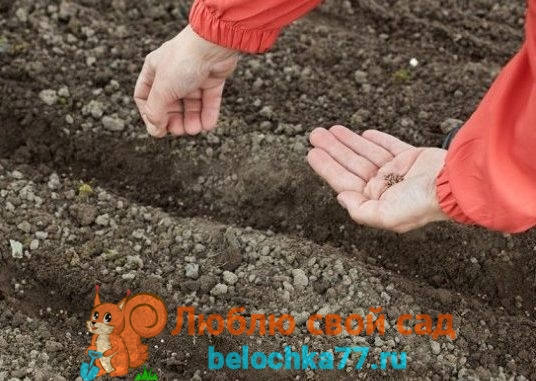 Сроки посева свёклы и подготовка семян