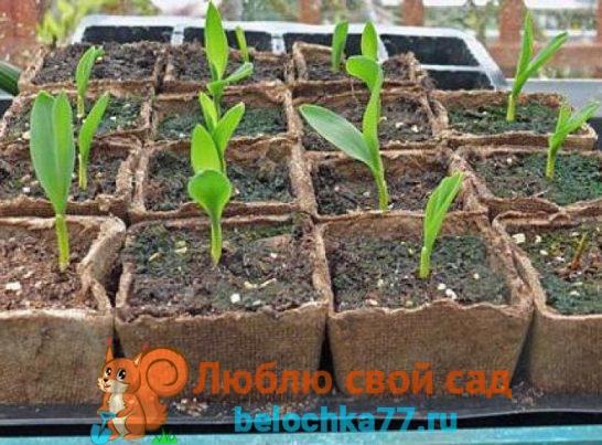 Кукуруза - посадка и уход в открытом грунте, фото и видео, сорта, когда и как сажать