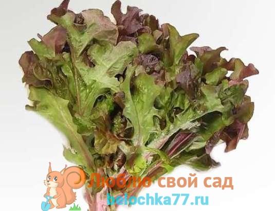 Оаклиф (дубовый салат)