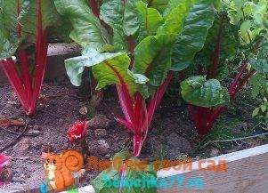 Свёкла – выращивание и уход в открытом грунте