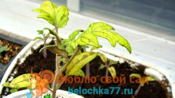 Что делать, если желтеют листья на рассаде томатов?
