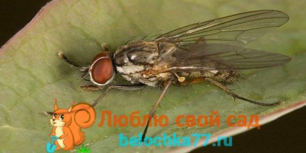 Описание луковой мухи