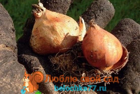 Как сохранить луковицы до посадки?