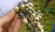 Болезни и вредители винограда с фото, описанием, чем обработать