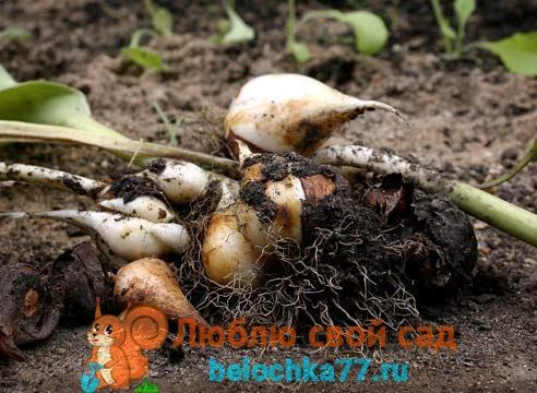 Зачем луковицы тюльпанов выкапывают?