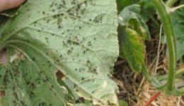 Вредители огурцов и борьба с ними в теплице, открытом грунте