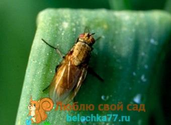 Луковая муха на грядке - как с ней бороться народными методами и химией