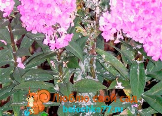 Мучнисая роса на петунии, флоксах, цветах