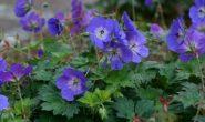 Герань садовая многолетняя: посадка и уход в открытом грунте, сорта