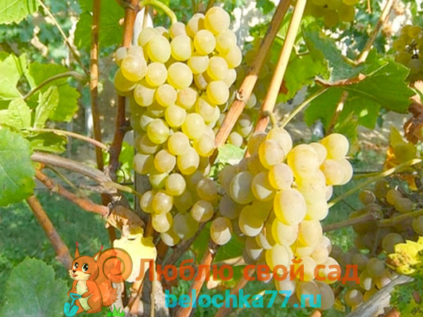 Виноград сорта Кристалл