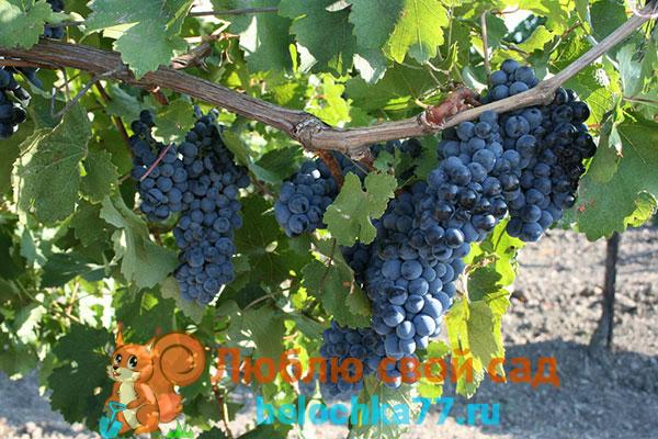 Виноград сорта гармония