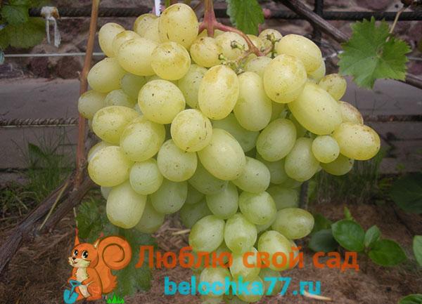 Виноград сорта Лора или Флора