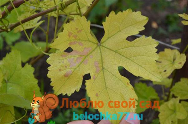 Почему желтеют и сохнут листья
