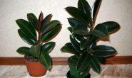 Фикус каучуконосный (эластика) - уход в домашних условиях. Виды и сорта