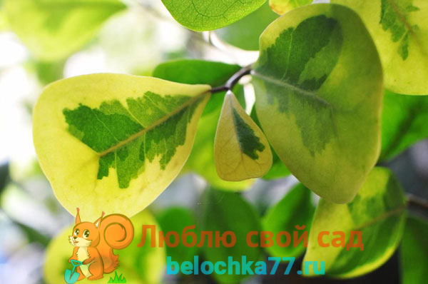 Фикус укореняющийся (Ficus radicans)