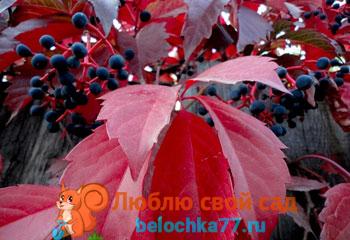 Девичий виноград - посадка и уход. Виды и сорта с фото