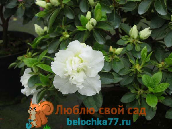 Сорта с белыми и розовыми цветами