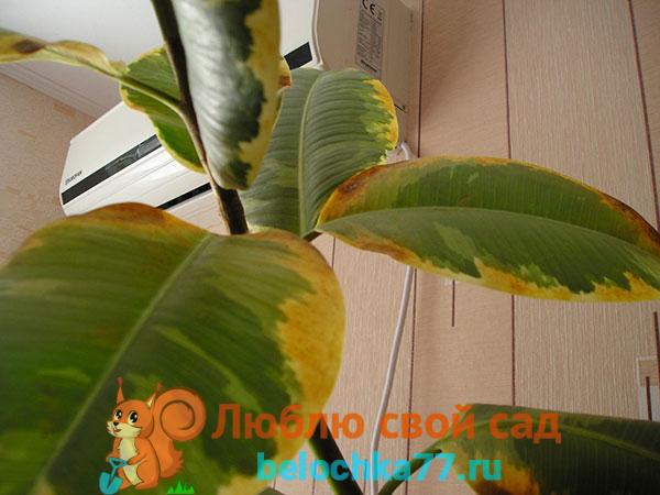 Почему на домашних цветах желтеют листья