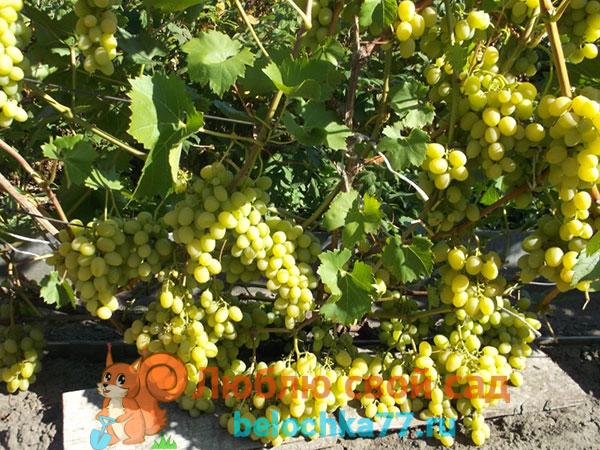 Виноград сорта Надежда Аксайская