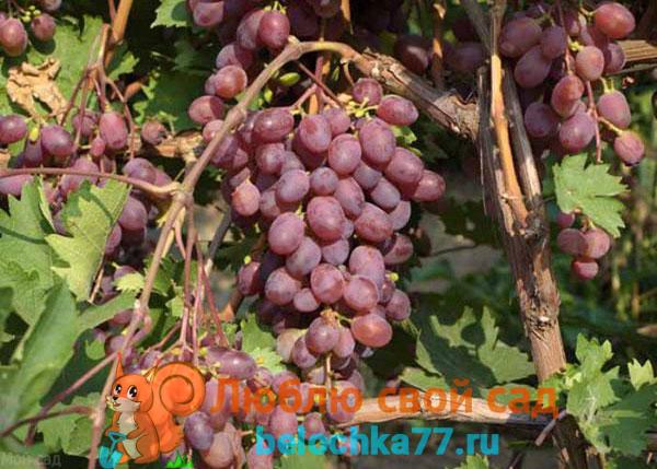Виноград сорта Виктория