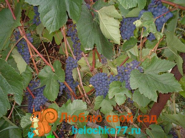Трудности выращивания винограда в Средней полосе