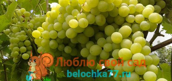 Виноград сорта Алешенькин или №328