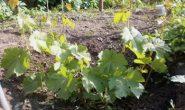 Виноград - первый год - все что нужно знать: посадка, обрезка. полив