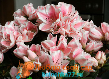 Азалия: уход в домашних условиях, условия для цветения, виды и сорта с фото