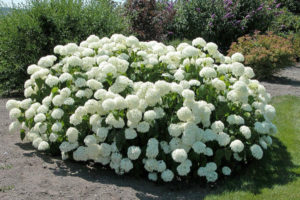 Гортензия садовая - посадка и уход в открытом грунте