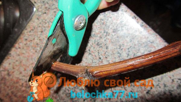 Подготовка черенков к укоренению весной