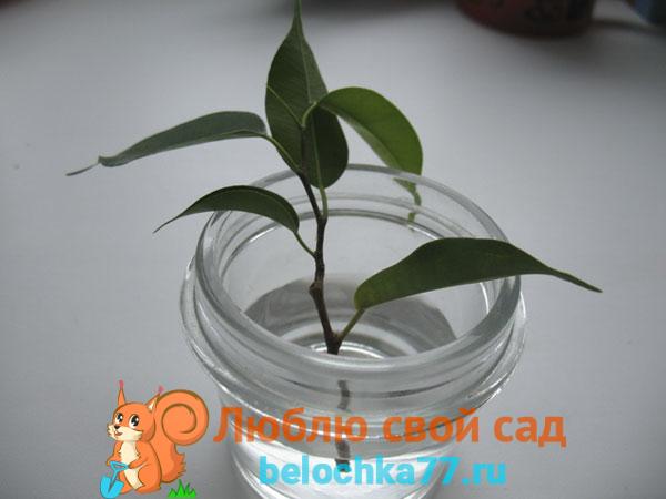 Проращивание черенка фикуса