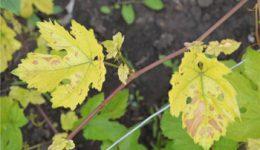 Почему желтеют и сохнут листья винограда? Болезни и вредители с фото