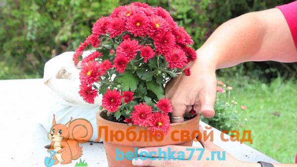 когда можно пересаживать хризантемы домашние