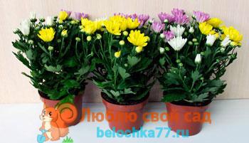 фото комнатная хризантема