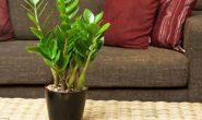 Замиокулькас: уход в домашних условиях. Виды и сорта с фото