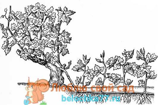 Размножение винограда многолетними отводками