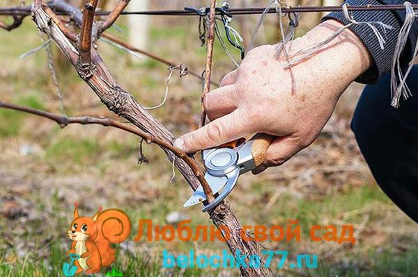 Как правильно обрезать молодой виноград