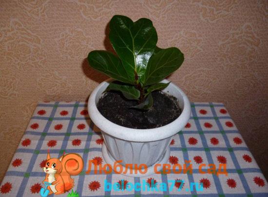Фикус лировидный (F. Lirata)