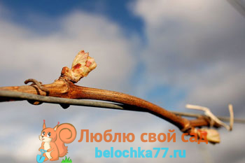 Если лоза винограда не вызрела, что делать: причины, советы, помощь