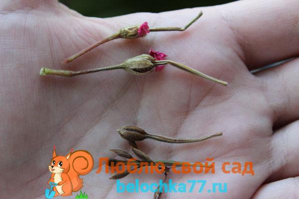 Семенное размножение садовой герани