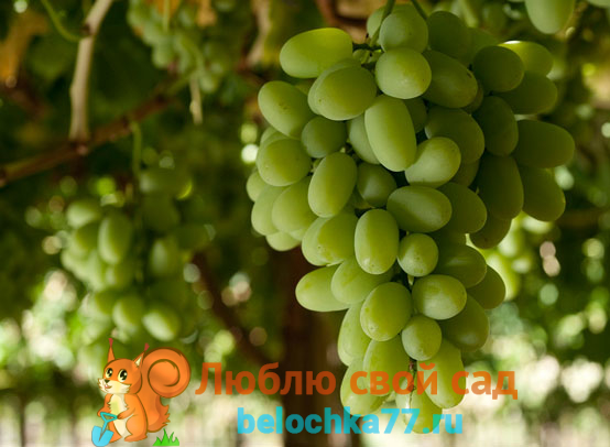 Сорт винограда Бахус