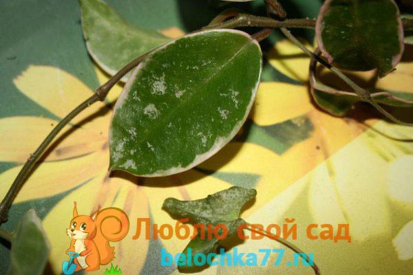 Трипсы на листьях