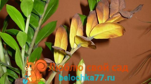 Почему желтеют листья у замиокулькаса, что делать?