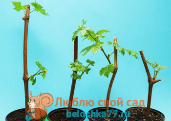 Размножение винограда черенками, отводками, зелеными черенками