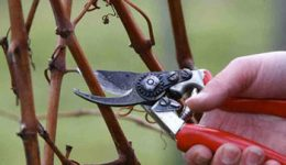 Обрезка винограда осенью для начинающих в картинках