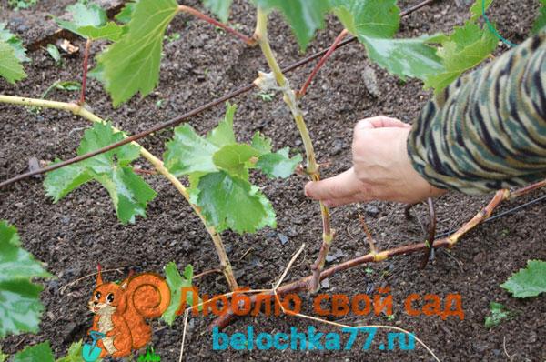 Как обрезать и укрыть виноград, если лоза не вызрела