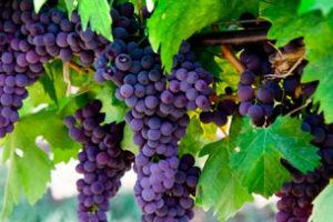 Сорта винограда для Средней полосы России с фото: столовый, технический