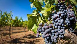 Лучшие сорта винограда для Подмосковья с фото, отзывы